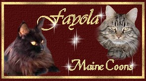 Fayola - Maine Coon Cattery